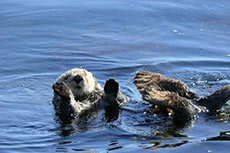 Sea-Otters---Brian-Congdon
