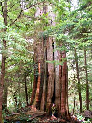 b2ap3_thumbnail_Hiking-Guide-Wild-Pacific-Trail-Ancient-Cedars-tree-Sarah-BeeWell.jpg